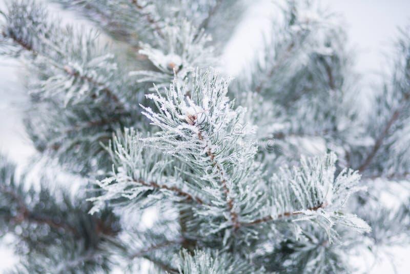 Rama nevada del pino del árbol con los copos de nieve en primer del bosque foto de archivo