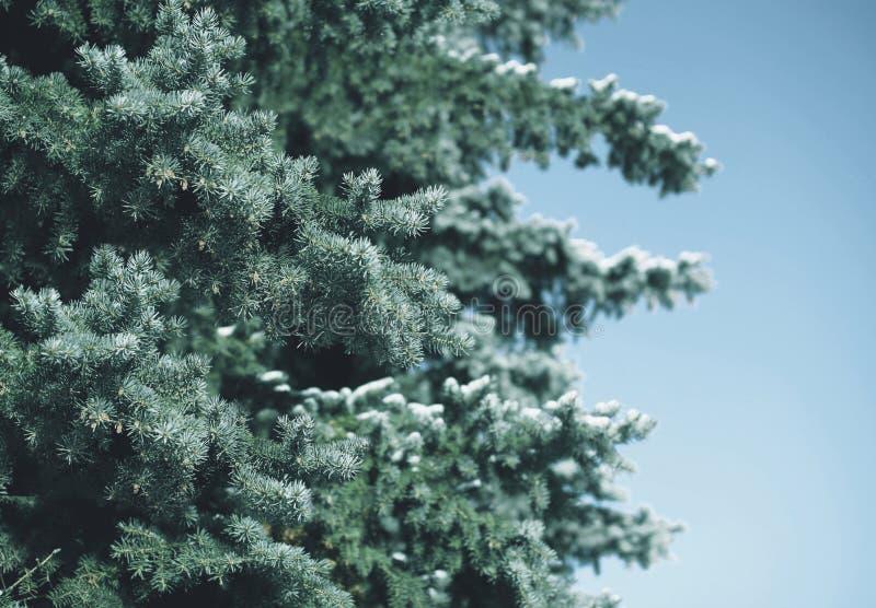 Rama nevada del pino del árbol del invierno en bosque imagenes de archivo