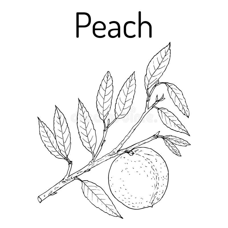 Rama Prunus Persica, fruta jugosa comestible del melocotón libre illustration