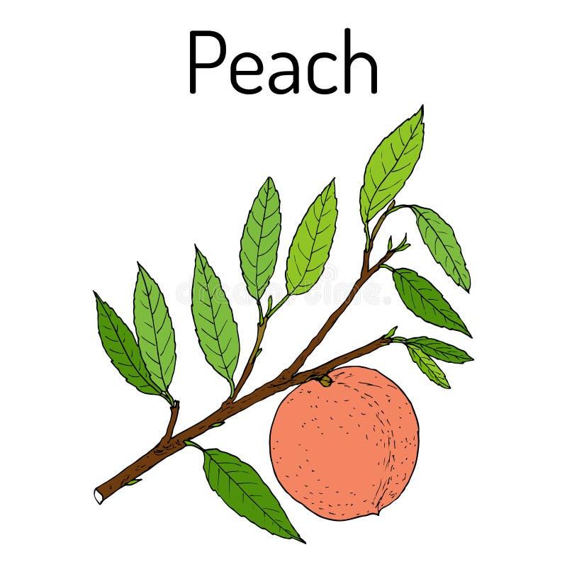 Rama Prunus Persica, fruta jugosa comestible del melocotón ilustración del vector