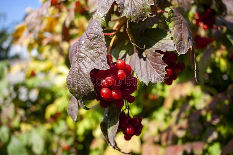 Rama roja del viburnum en el jard?n. .  fotografía de archivo libre de regalías