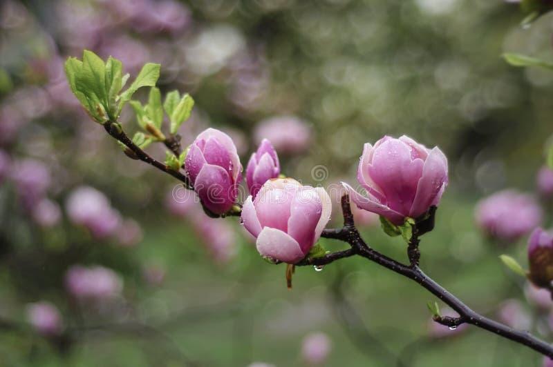 Rama rosada de la magnolia imagen de archivo
