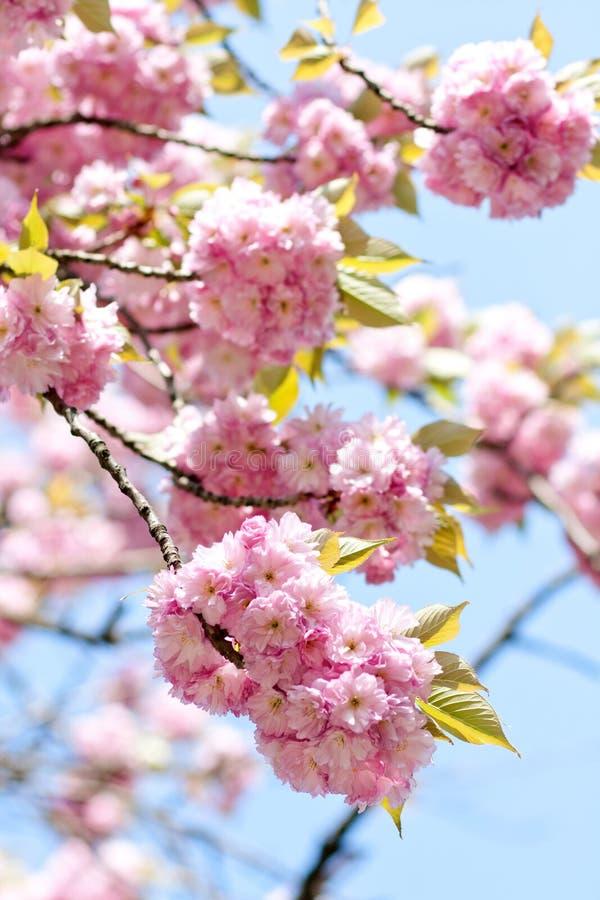 Rama rosada doble de las flores de cerezo imágenes de archivo libres de regalías