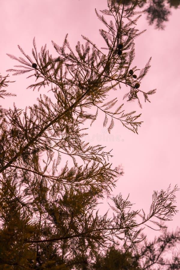 Rama silueteada al aire libre del tronco de la textura de la aguja del pino con el cielo rosado en fondo imagenes de archivo