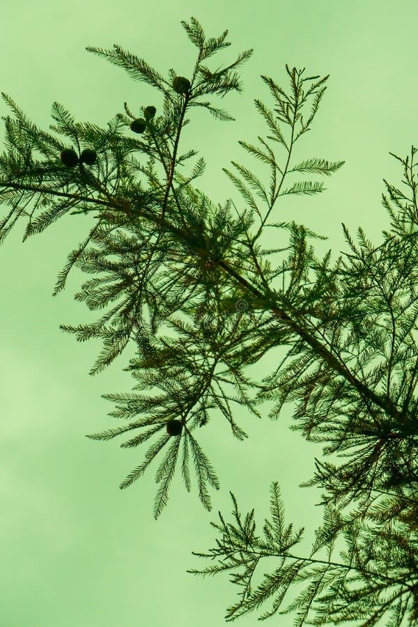 Rama silueteada al aire libre del tronco de la textura de la aguja del pino con el cielo verde en fondo foto de archivo libre de regalías