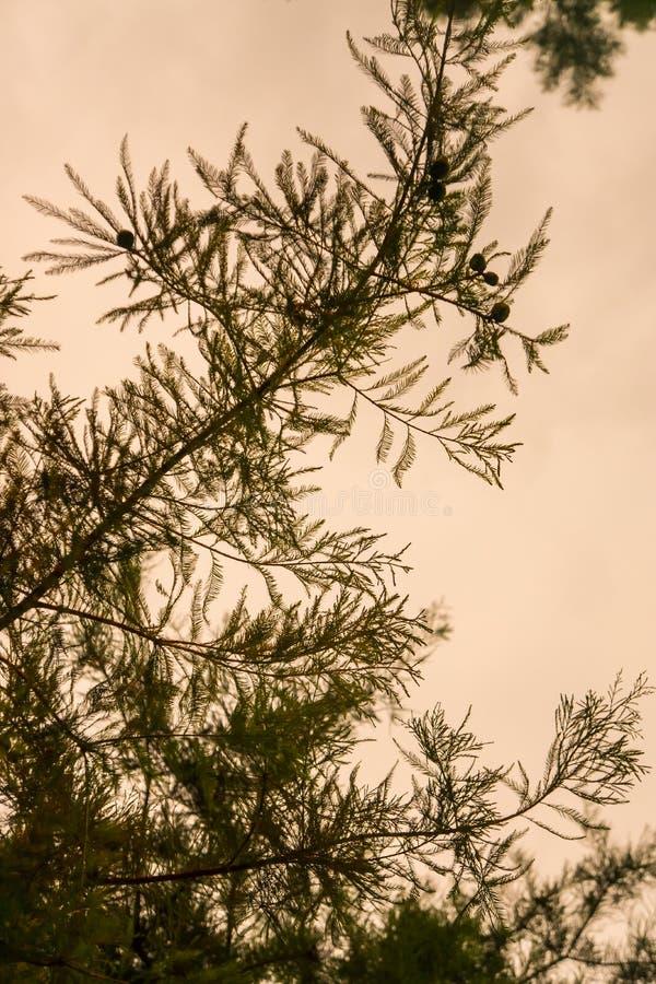 Rama silueteada al aire libre del tronco de la textura de la aguja del pino con el fondo amarillo del cielo foto de archivo