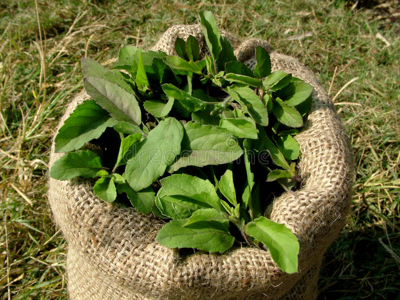 how to make fresh holy basil tea