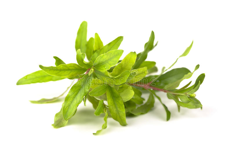 Rama verde. fotografía de archivo libre de regalías