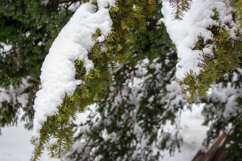 Rama verde clara de la picea debajo de la nieve en fondo de madera conífero congelado del bosque del invierno Nevadas en bosque foto de archivo