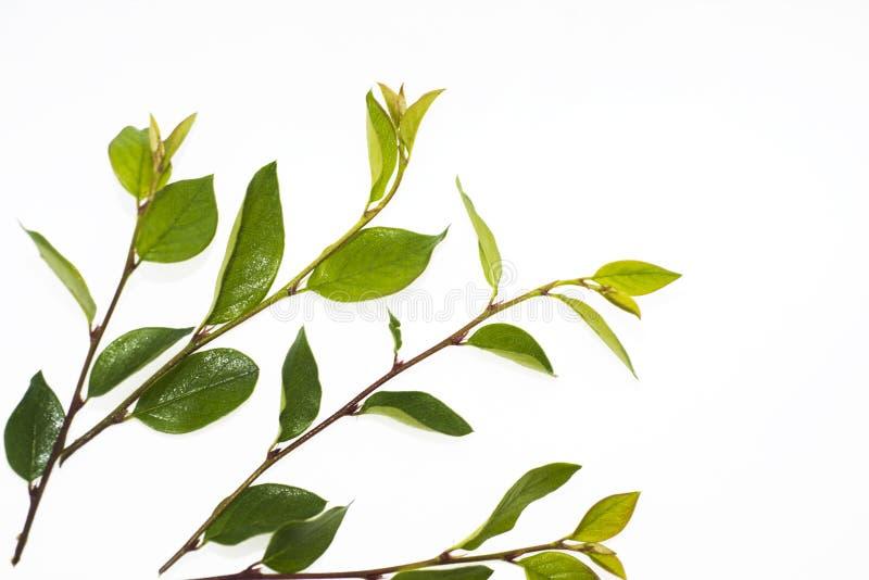 Rama verde con las hojas fotografía de archivo libre de regalías