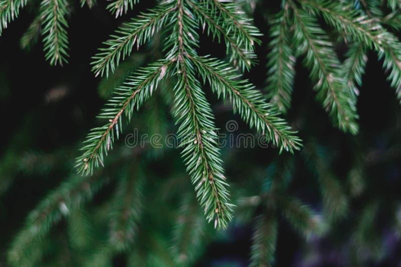 Rama verde de la picea en el primer del bosque ?rbol con?fero La rama de una picea joven con las agujas fotos de archivo