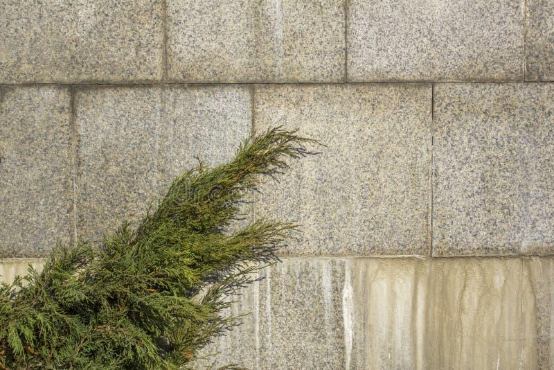 rama verde de un árbol conífero contra una pared gris del granito de tejas cuadradas Textura de la superficie áspera imágenes de archivo libres de regalías
