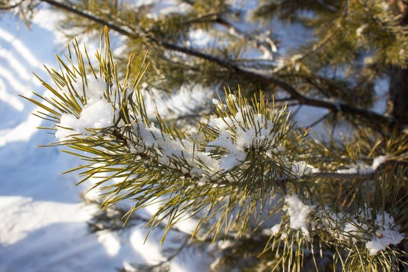 Rama verde del pino foto de archivo libre de regalías