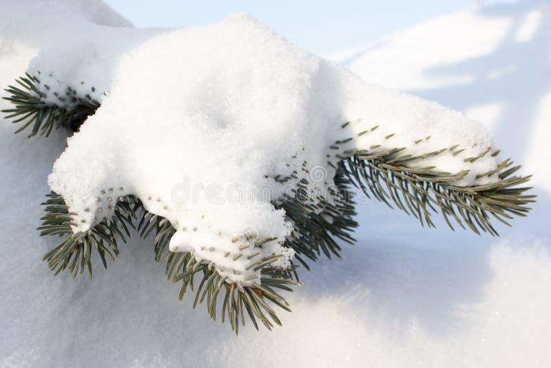 Rama verde del pino fotografía de archivo