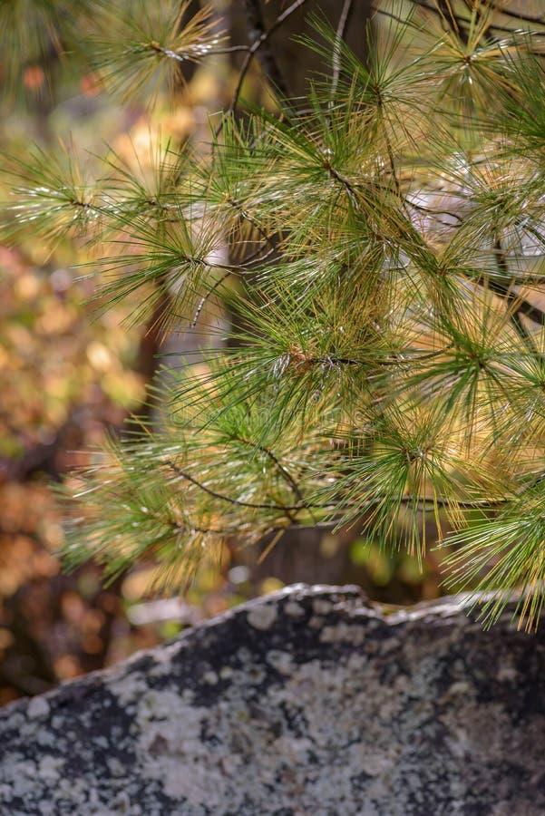 rama y agujas de árbol de pino en luz del sol imágenes de archivo libres de regalías