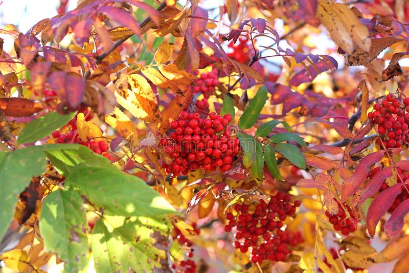 Rama y bayas ashberry de Aurumn Fondo colorido fotografía de archivo libre de regalías