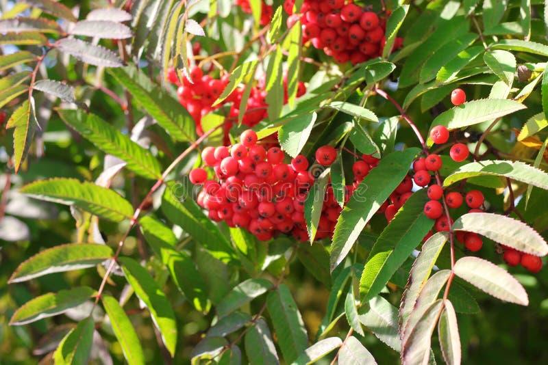 Rama y bayas ashberry de Aurumn Fondo colorido imagen de archivo