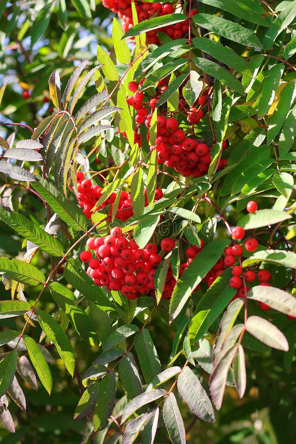 Rama y bayas ashberry de Aurumn Fondo colorido imagenes de archivo