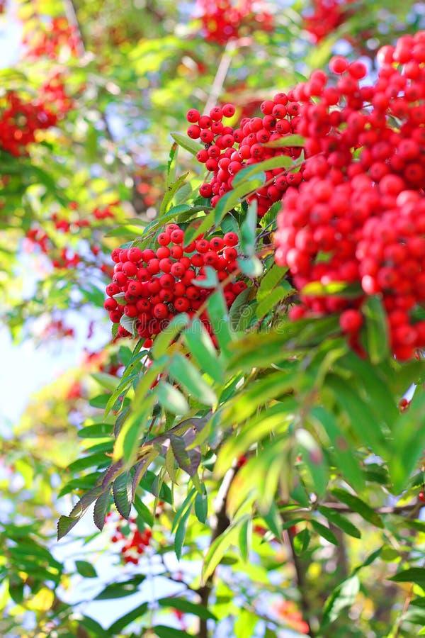 Rama y bayas ashberry de Aurumn Fondo colorido foto de archivo libre de regalías