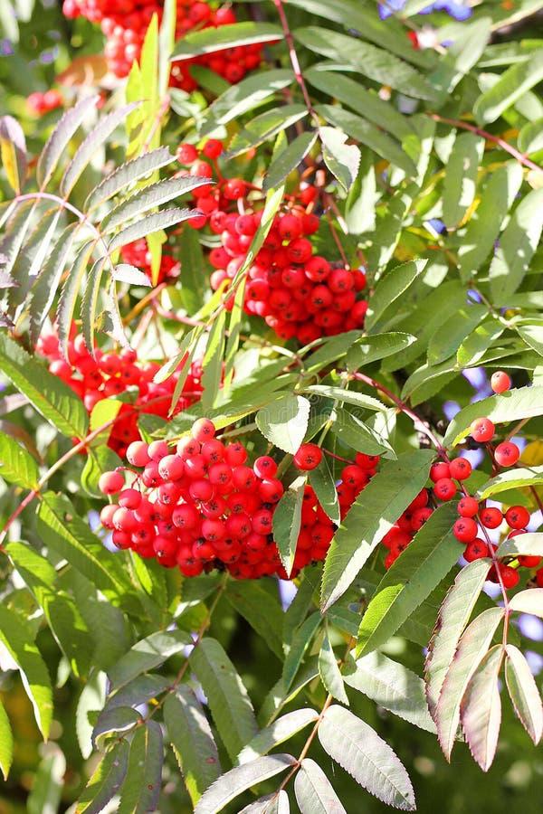 Rama y bayas ashberry de Aurumn Fondo colorido fotos de archivo libres de regalías