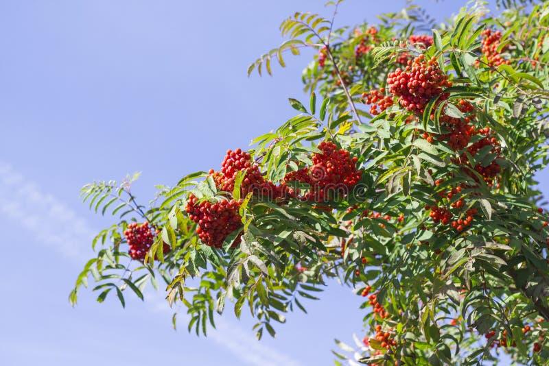 Rama y bayas ashberry de Aurumn Fondo colorido fotografía de archivo