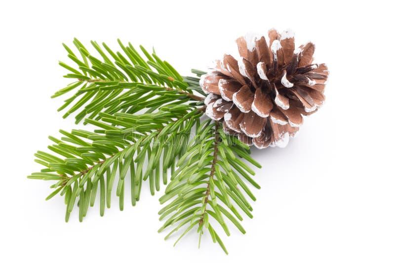 Rama y conos de árbol de abeto aislados en el fondo blanco fotografía de archivo libre de regalías