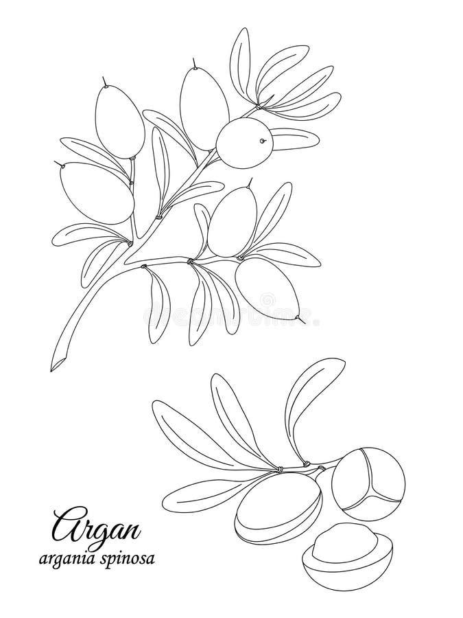 Rama y nueces del Argan ilustración del vector
