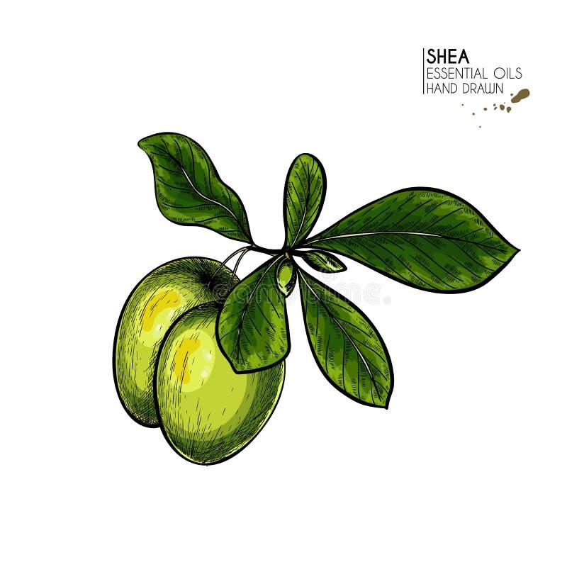 Rama y nueces exhaustas de la planta del mandingo de la mano Ejemplo coloreado grabado del vector Planta medicinal, cosmética moi stock de ilustración