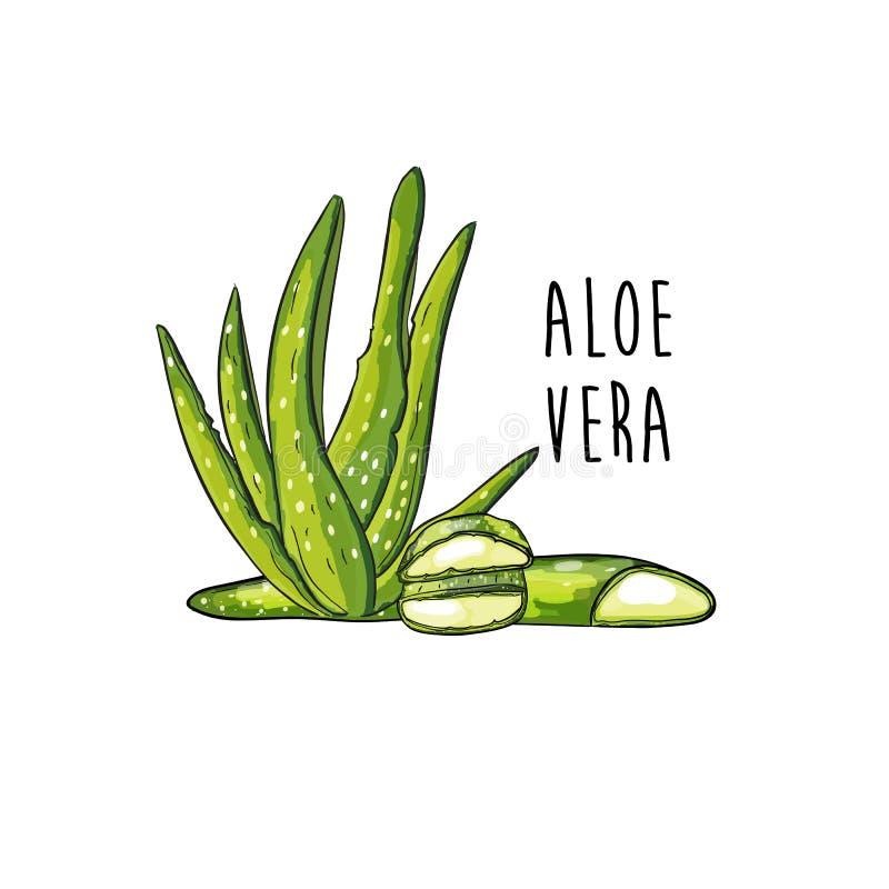 Rama y rebanadas del brote de la planta de Vera del áloe ilustración del vector