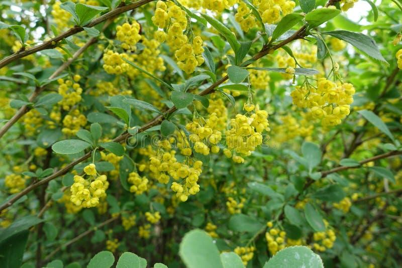 Ramais florescentes de Berberis vulgaris foto de stock