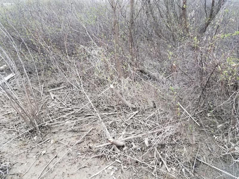 Ramais ou ramos na área do pântano lamacento mastigados por castores imagens de stock