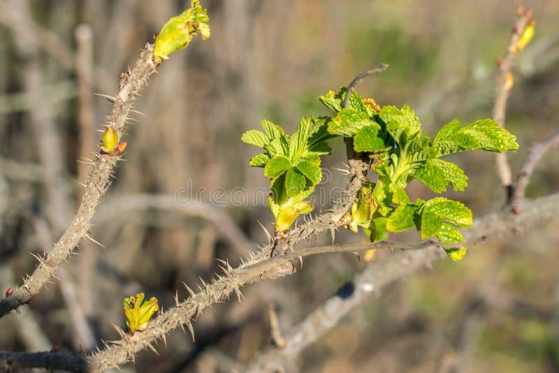 Ramal de roseira selvagem com primeira folha verde próxima foto de stock