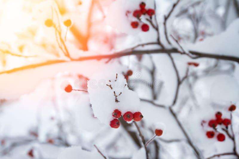 Ramal de ruiva vermelha sufocado com queda de neve Fundo da paisagem de inverno foto de stock
