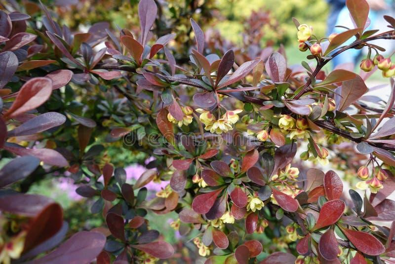 Ramal florescente de Berberis thunbergii atropurpurea imagem de stock royalty free