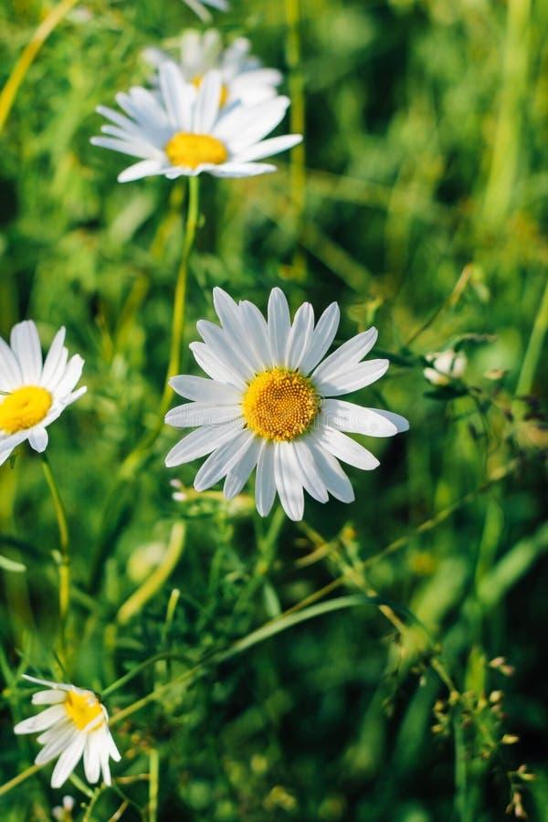 Ramalhete bonito das flores da camomila no fundo verde, vista superior, close-up imagens de stock