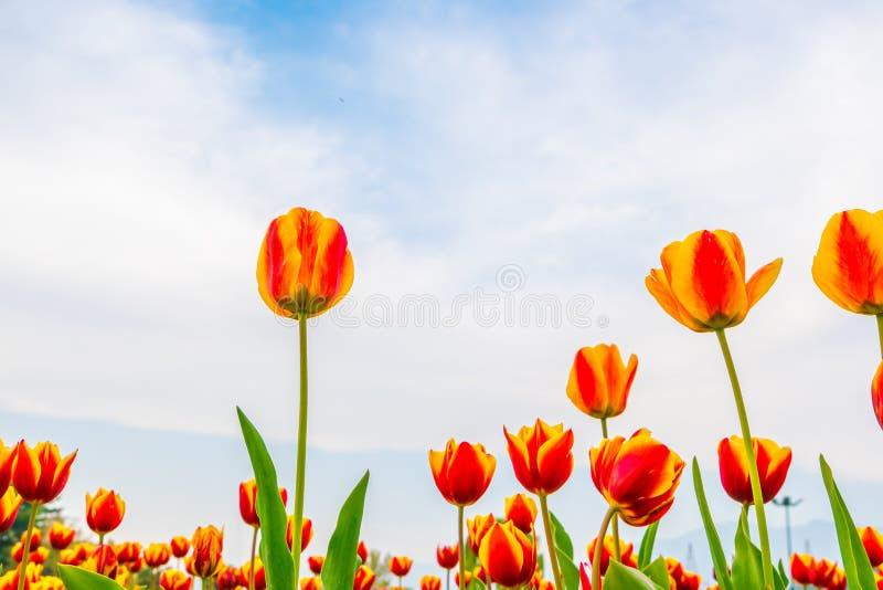 Ramalhete bonito das tulipas na estação de mola imagem de stock royalty free