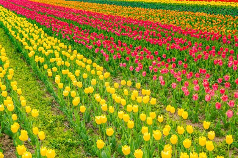 Ramalhete bonito das tulipas na estação de mola fotos de stock