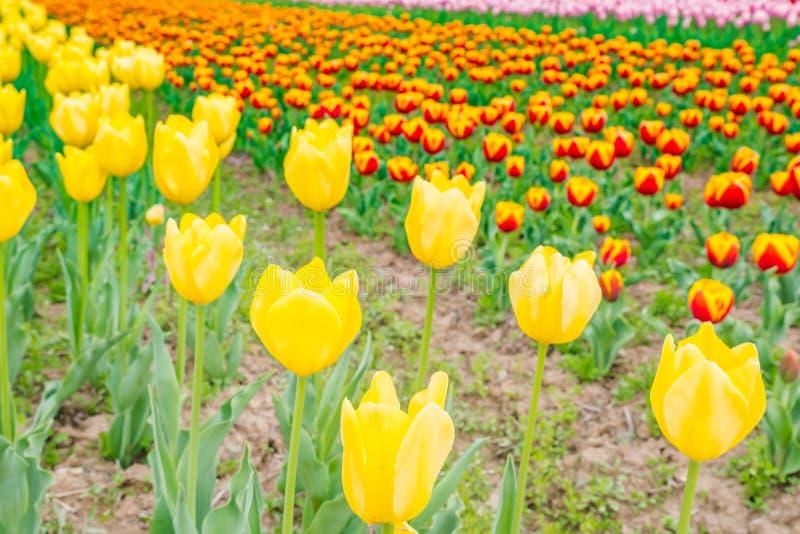 Ramalhete bonito das tulipas na estação de mola imagens de stock royalty free