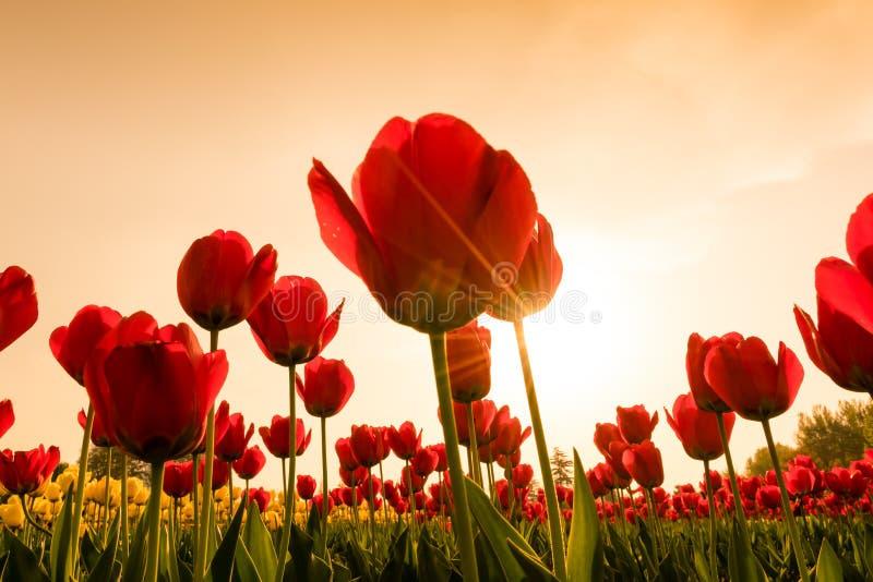 Ramalhete bonito das tulipas na estação de mola (Imagem filtrada imagem de stock