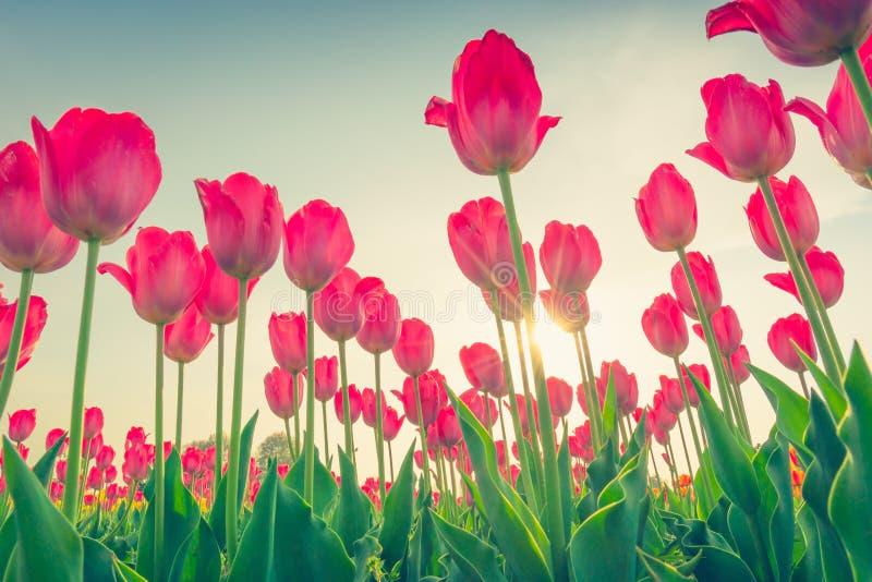 Ramalhete bonito das tulipas na estação de mola (Imagem filtrada fotografia de stock