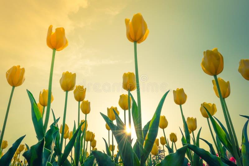 Ramalhete bonito das tulipas na esta??o de mola (Efeito processado imagem filtrado do vintage fotos de stock