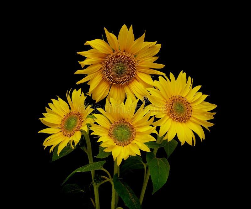 Ramalhete bonito de girassóis de florescência em um fundo preto fotos de stock royalty free