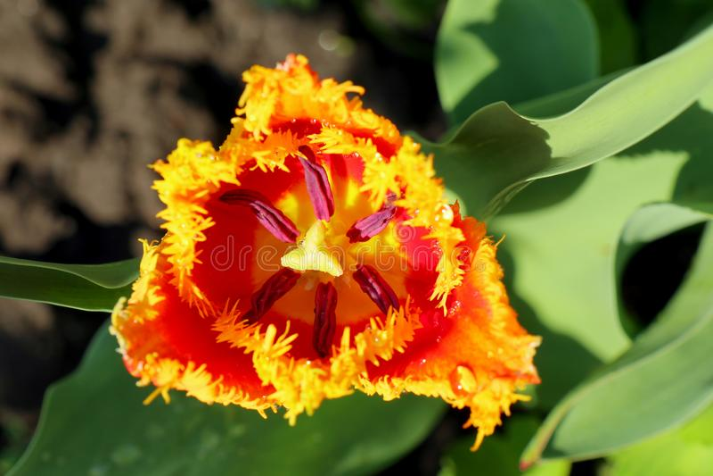 Ramalhete bonito do fundo bonito da natureza das tulipas foto de stock