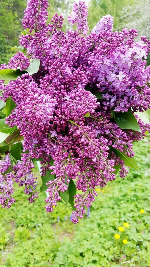 Ramalhete bonito do lilac fotografia de stock royalty free
