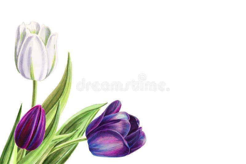 Ramalhete branco e preto bonito do canto da tulipa Desenho do marcador Pintura da aguarela ilustração do vetor