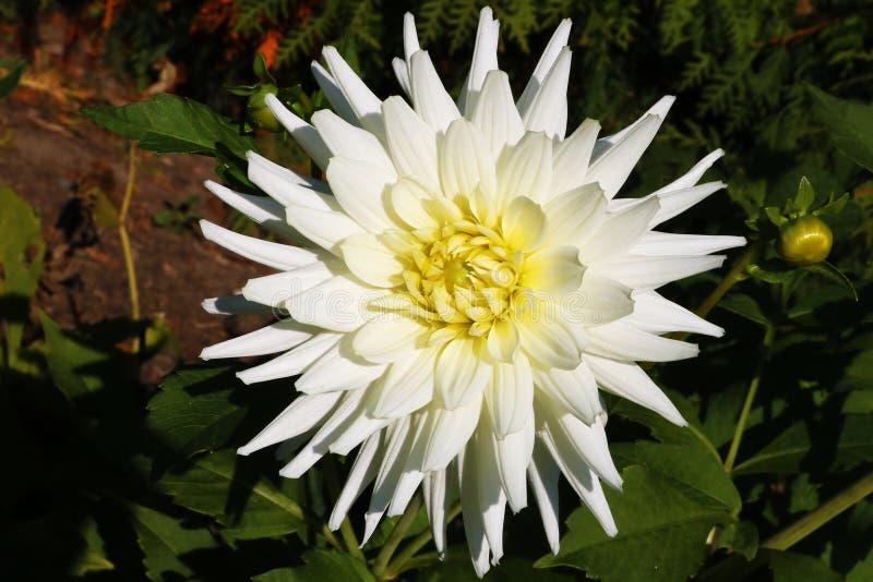Ramalhete brilhante do casamento da foto macro das dálias do verão, da flor fresca do rosa, a amarela e a branca da dália fotos de stock royalty free