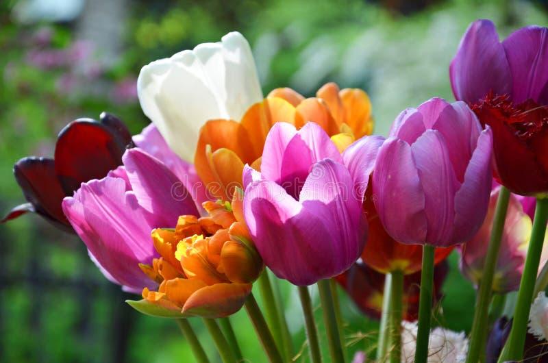 Ramalhete colorido das flores da tulipa da mola fotos de stock royalty free