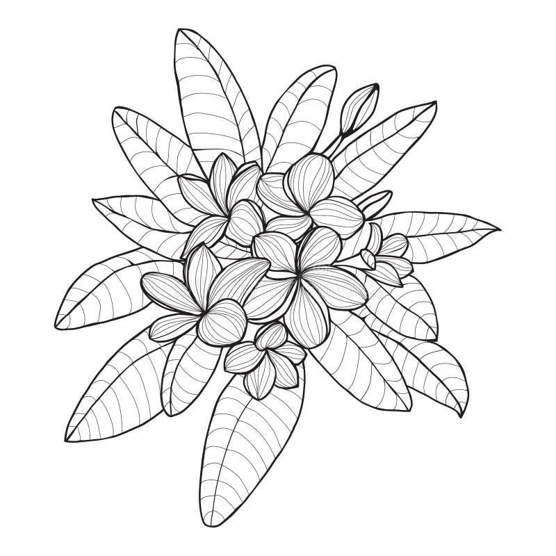 Ramalhete com a flor do Plumeria ou do Frangipani no fundo branco ilustração stock