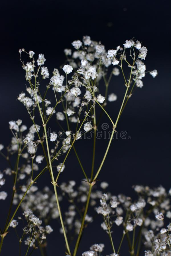 Ramalhete comum branco decorativo secado da erva da flor do paniculata do Gypsophila fotos de stock