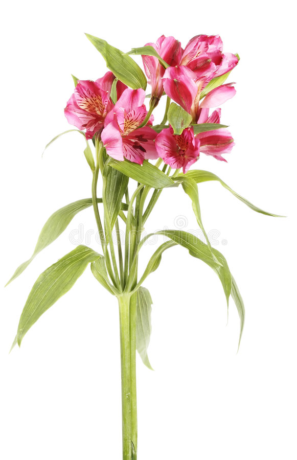 Ramalhete cor-de-rosa isolado da flor fotos de stock royalty free